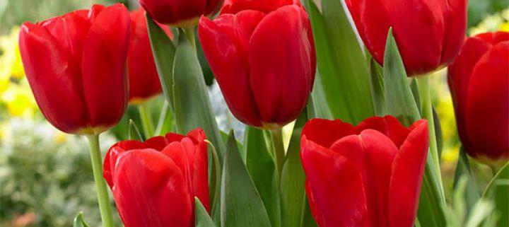 Bunga Tulip Untukmu